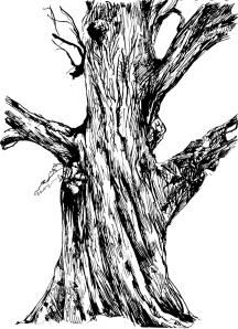 Amanda: Oak, Savernake Forest, Wiltshire